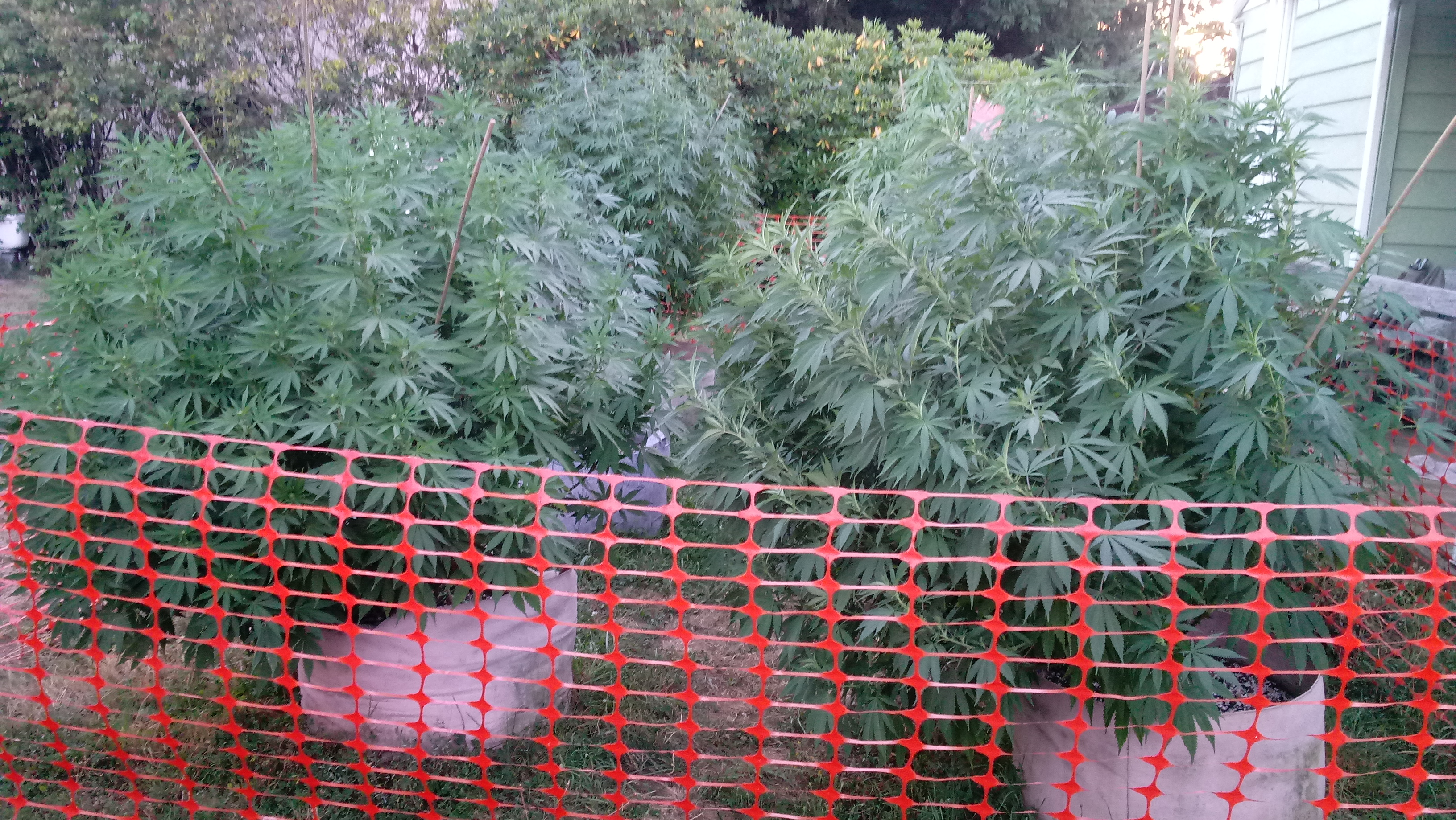 Backyard Cannabis Farming 2019 - Episode 12: Restructuring Supports for High Winds, Reasons NOT to Water When Plants are Drooping, Identifying Nutrient Deficiencies & Solutions